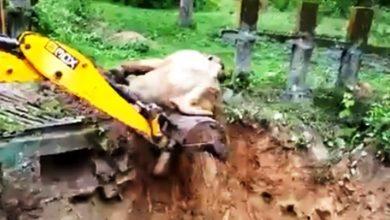 Photo of जेसीबी का पीला पंजा बना हाथी के लिए 'भगवान', बचाई जान; देखें वीडियो