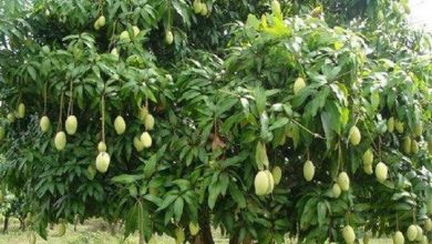 Photo of OMG! इस आम के पेड़ पर लगते हैं 121 वैराइटी के आम, जानिए कैसे?