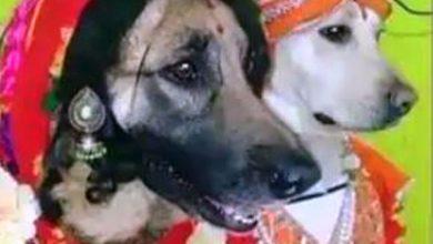 Photo of कुत्ते-कुतिया ने अनोखे अंदाज में रचाई शादी, सेहरा और झुमका पहने दिखी जोड़ी; देखें फनी वीडियो